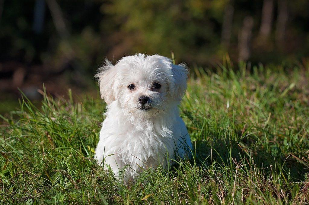 petit chien blanc couché dans l'herbe